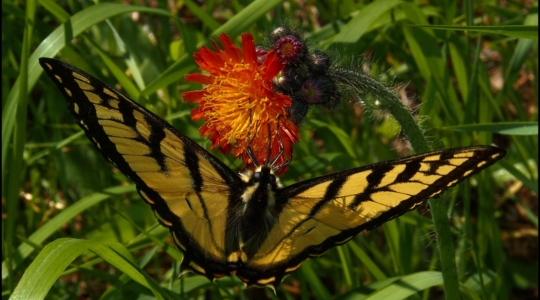 Tiger Swallowtail Butterfly on Hawk Weed