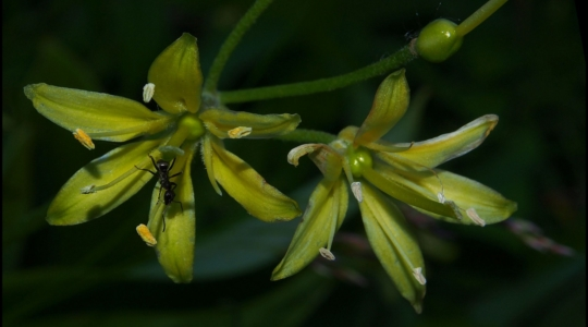 Ant on Yellow Clintonia